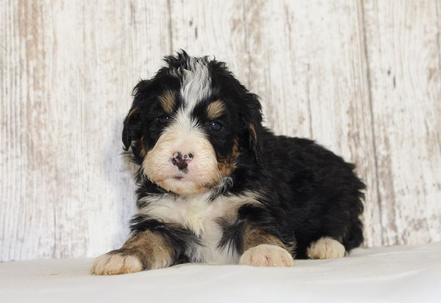 Cooper A Male Mini Bernedoodle Pupper For Sale In Fort Wayne Indiana Bernedoodle Bernedoodlepuppy Puppiesfors Puppies Bernedoodle Puppy Puppies Near Me