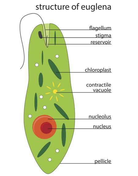structure of euglena vector free