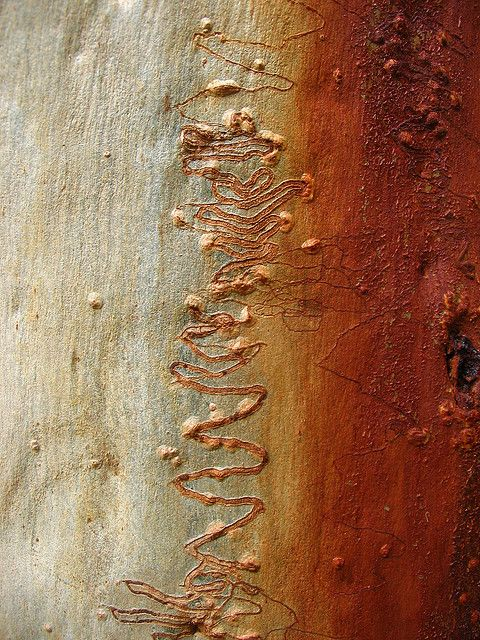 Scribbly Gum Nature Artwork Abstract Nature Abstract