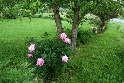 Peonies and fruit trees.  I've always wanted this combination along a driveway (with some lilacs in there too!)
