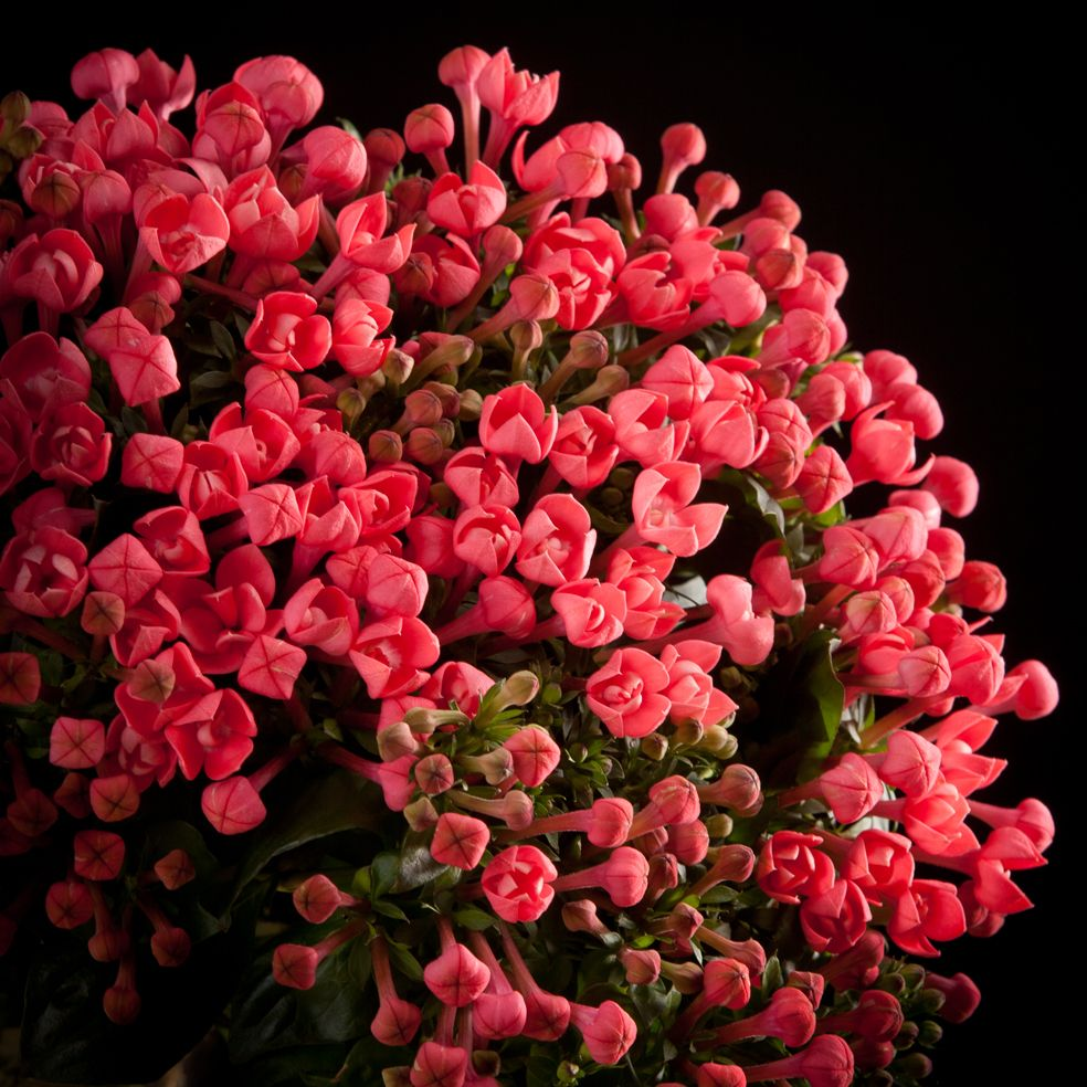 Certi Bouvardia Rosetta roze bloemen boeket Certi