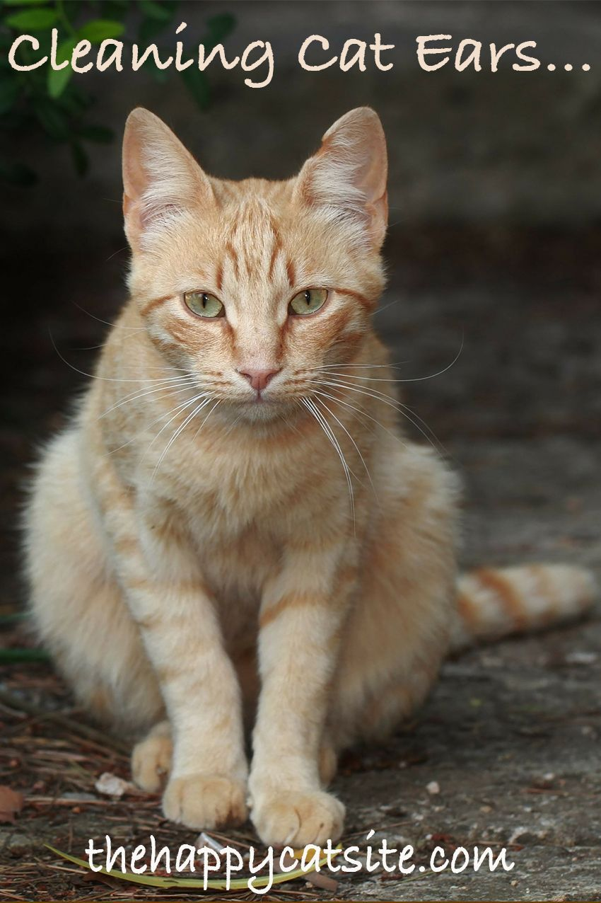 How To Clean Cats Ears A Guide To Cleaning Cat Ear Wax And Dirt Cats Clean Cat Ears Cat Talk