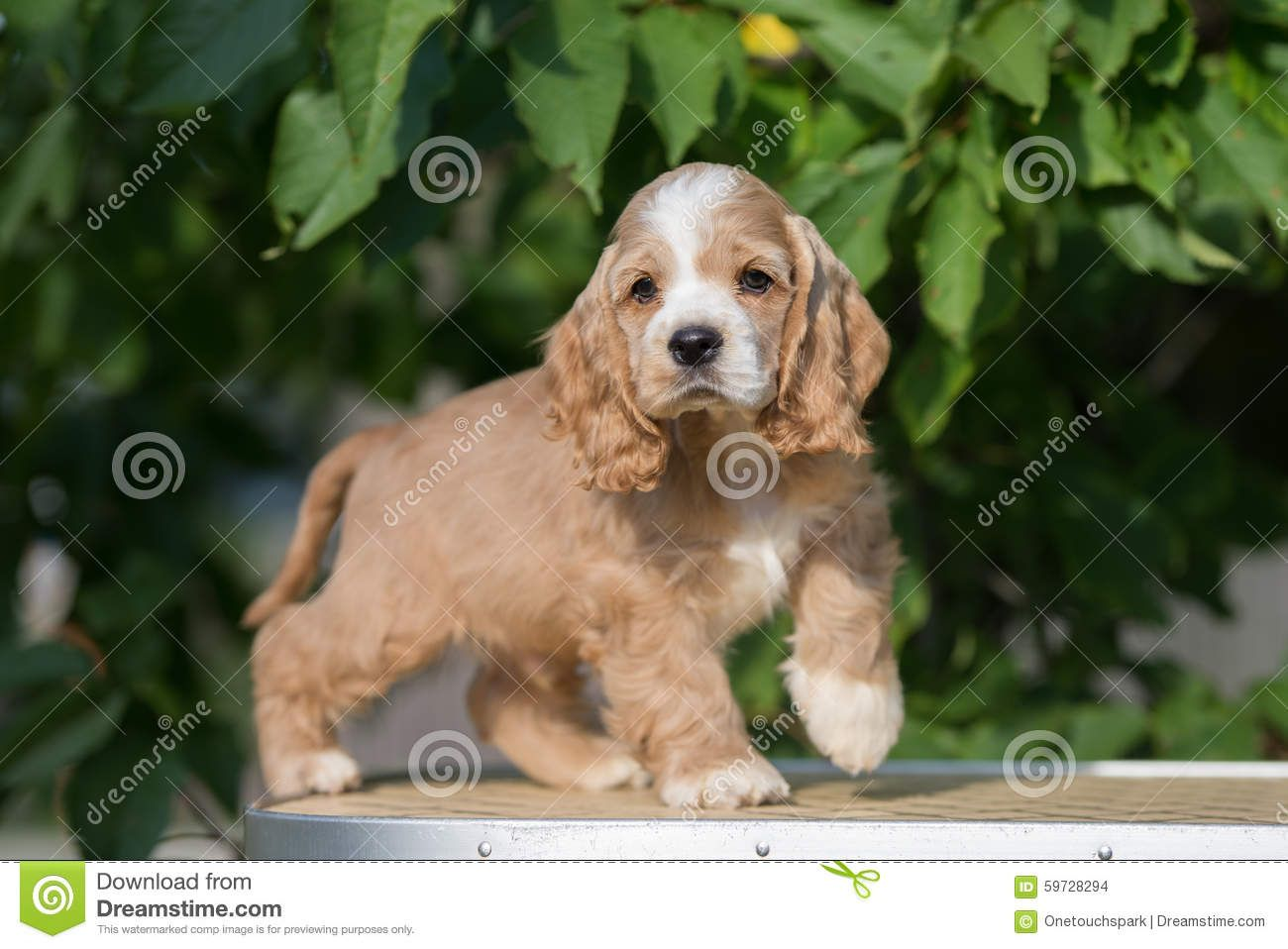 Red And White American Cocker Spaniel Puppy Download From Over 68 Million High Quality Stock P Spaniel Puppies Cocker Spaniel Puppies American Cocker Spaniel