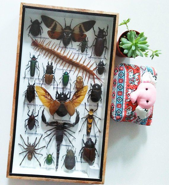 Real Rare Mix Big Set Stick Insect Bug Taxidermy Insect Display Gift Box Framed