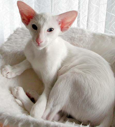 White Oriental Oriental Shorthair Cats Oriental Shorthair Cat Breeds