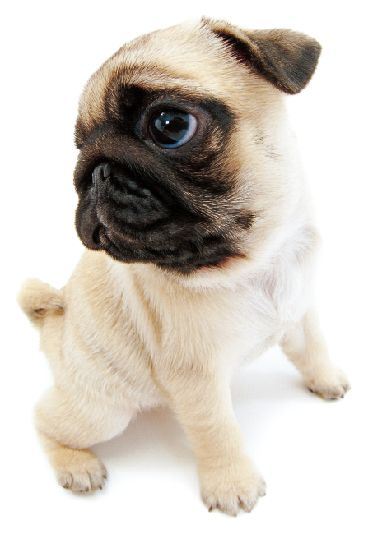 How could you not love a pug? | Cute animals | Pugs, Pug ...