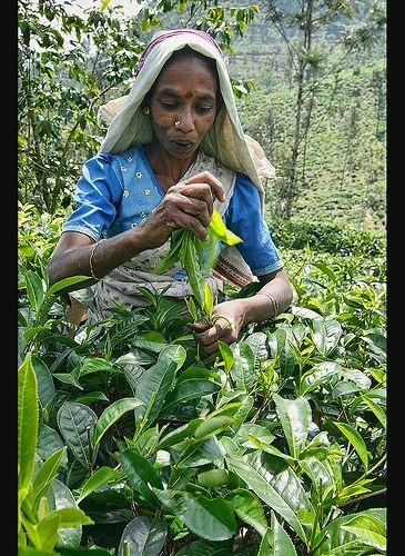 A Tamil tea picker working on the plantation near Ella, Sri Lanka