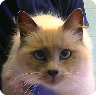 2 3 17 Urgent Decatur Ga Siamese Meet Nana A Cat For Adoption Dekalb County Animal Services Pet Id 345 Pets Kitten Adoption Cat Adoption