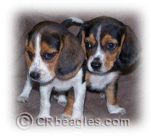 Puppy Growth Stages Puppy Development Timeline Adoptable Beagle