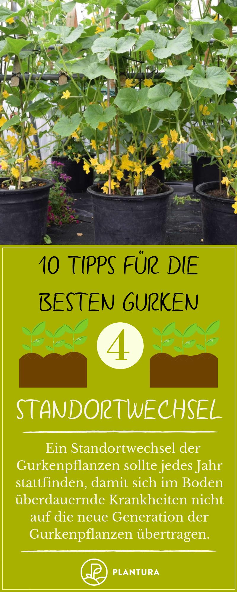 10 Tipps Fur Die Besten Gurken Aus Dem Eigenen Garten Plantura Gurkenpflanze Gemuseanbau In Kubeln Gurke