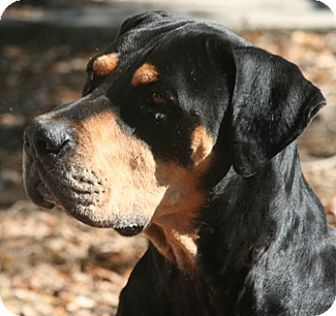 Rottweiler Great Dane Mix Dogs Breed Rottweiler Mix