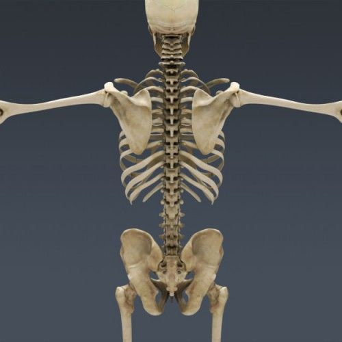Human Male Anatomy Body Muscles Skeleton 3D model | Places to Visit ...
