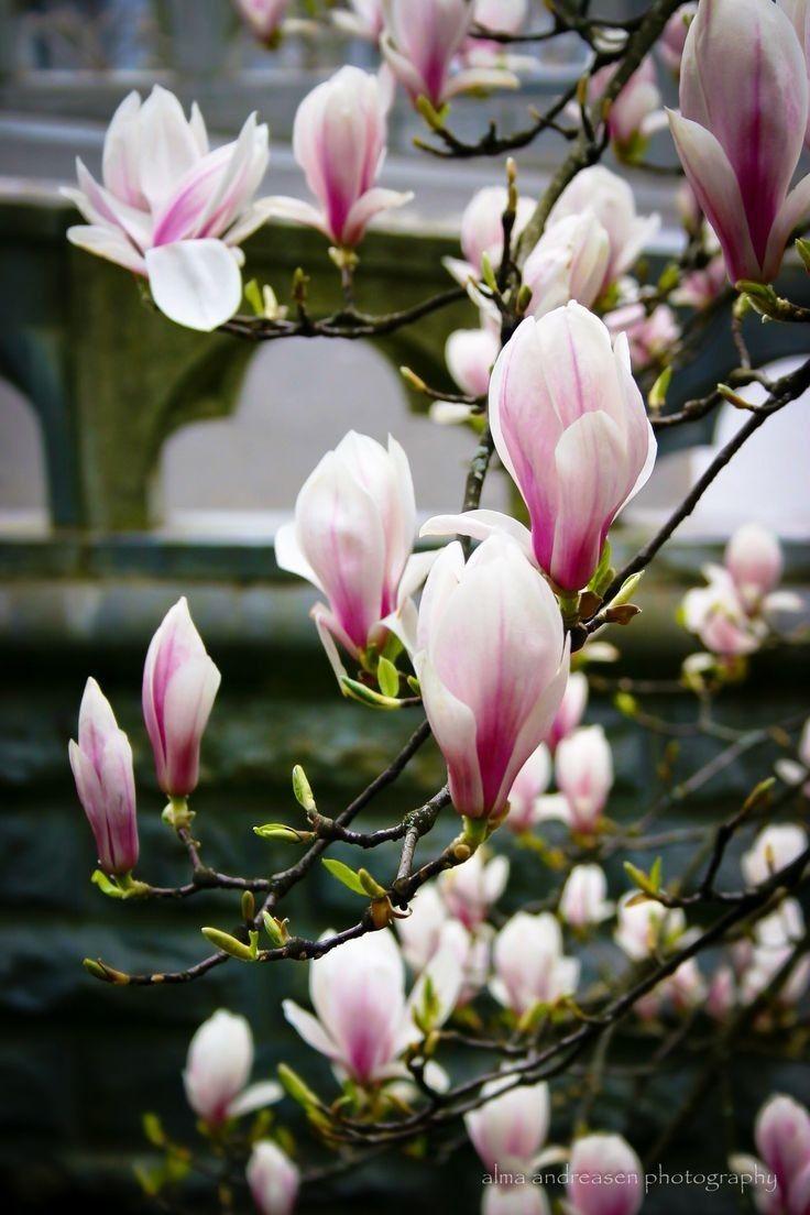 Pin By Sanyka On Magnolia 木蘭花 In 2020 Pretty Flowers Beautiful Flowers Magnolia Flower
