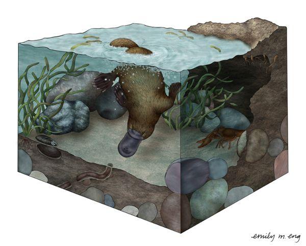 Hover Effect Duckbill Platypus ...