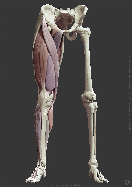 Leg anatomy, Jekabs Jaunarajs