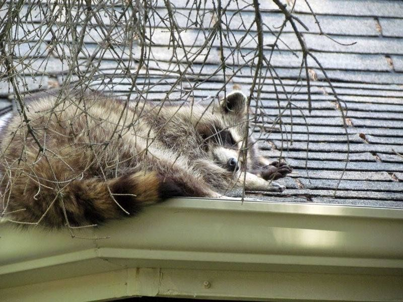 After Humanely Evicting Pests From Your Attic We Can Install Permanent Solutions Learn More Here Http Qoo Ly Wswgu Aaacw Animal Control Wildlife Animals