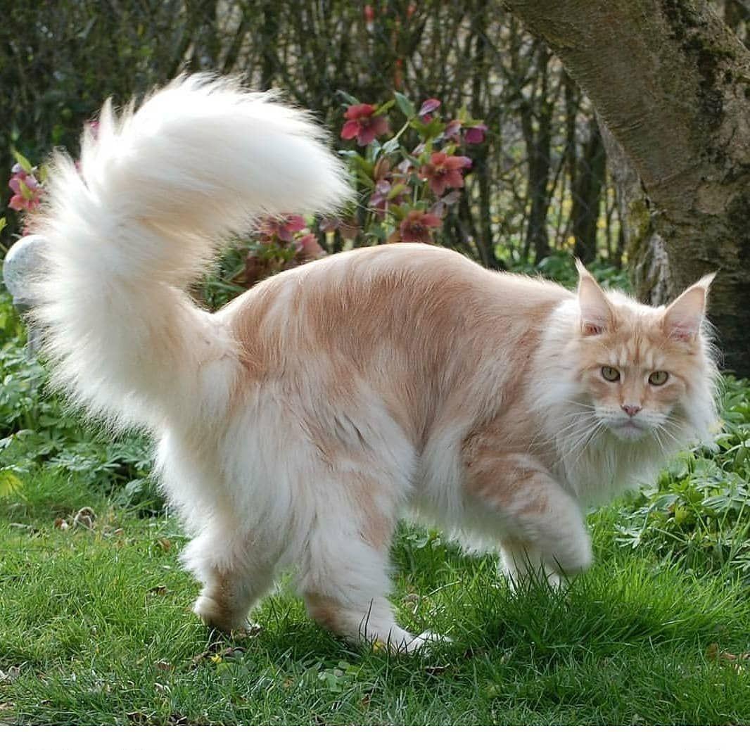 пушистый хвост кота картинка называется такое
