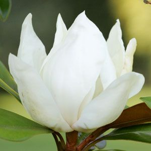 Magnolia Grandiflora 'Little Gem' - Southern Magnolia   Dwarf Magnolia - Willis Orchard Company