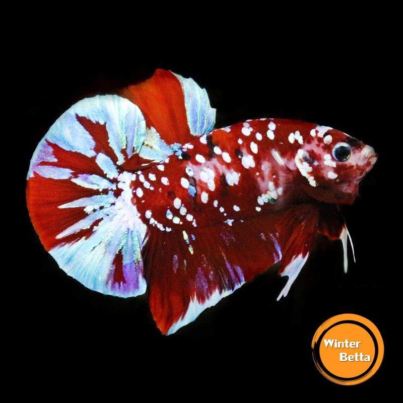 Pin Oleh Chee Chang Di Betta Fish The Live Art 2018 Ikan Cupang Binatang Ikan