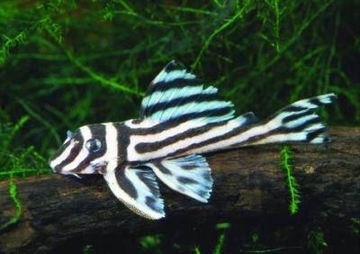 50gram Catappa Leaf For Live Fish Pleco Zebra Plecostomus Tank Algae Plant Eater Aquarium Fish Freshwater Fish Tropical Fish