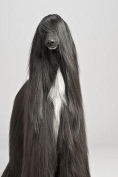 This Dog Has Better Hair Than I Do アフガンハウンド 犬の写真