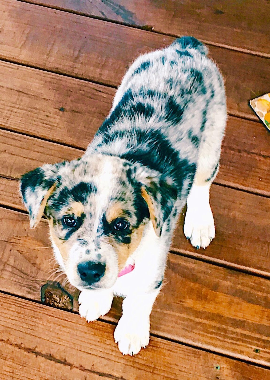 Adorable texas heeler puppy puppies heeler puppies heeler