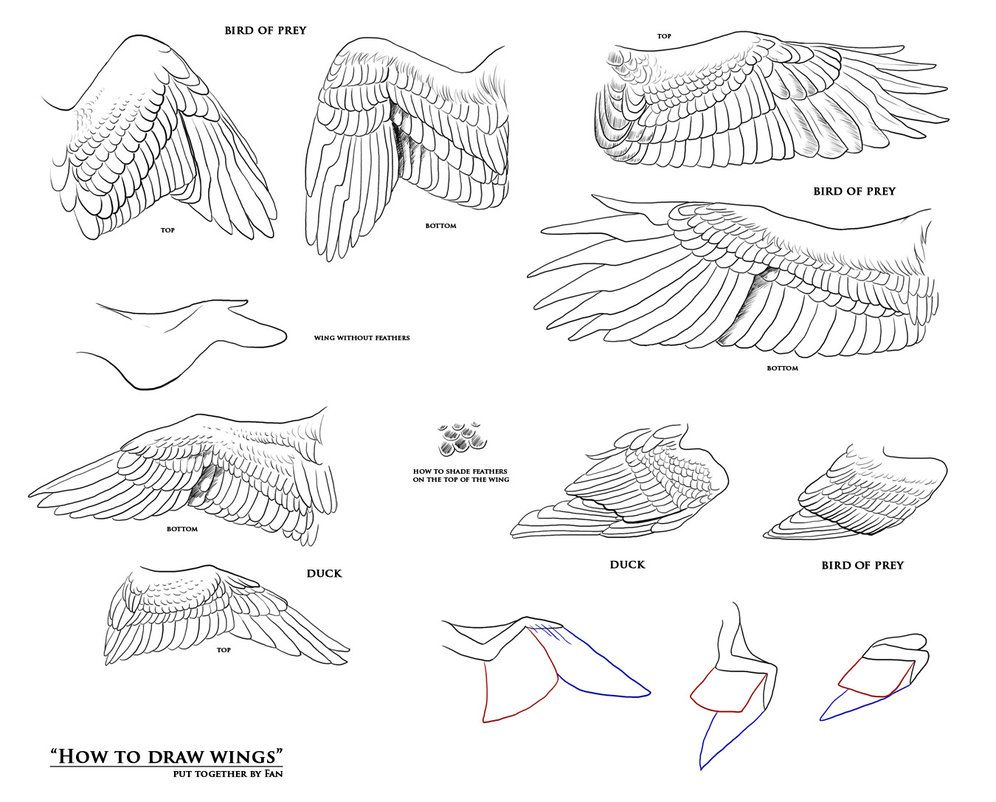 Folded and extended bird wings | Dragon | Pinterest | Alas, Anatomía ...