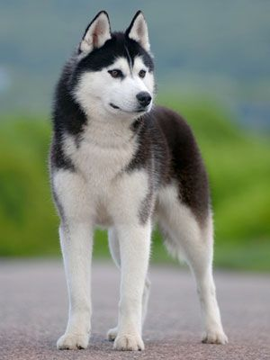 40 Medium Sized Dog Breeds That Are The Perfect First Pet For Any Family Dog Breeds Medium Siberian Husky Dog Best Medium Sized Dogs