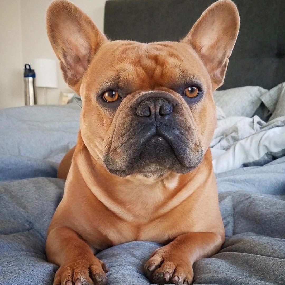 British Edition Dog Nose Balm French bulldog puppies