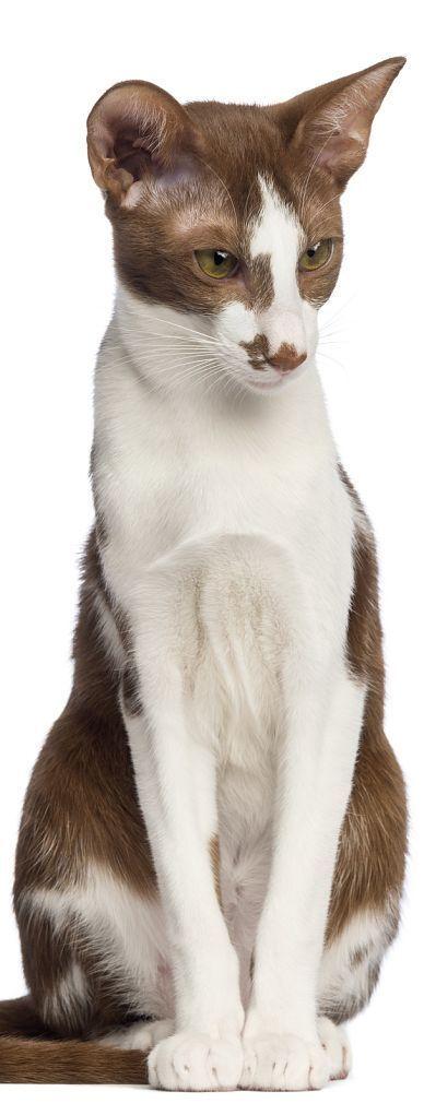 Oriental Shorthair Cat #catbreeds | Oriental shorthair ...