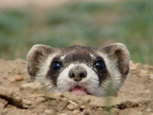 Critically Endangered Black Footed Ferret Black Footed Ferret Ferret Cute Ferrets
