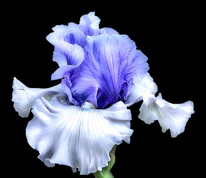 Iris Blue Png 417 362 Iris Painting Floral Watercolor Flower Painting