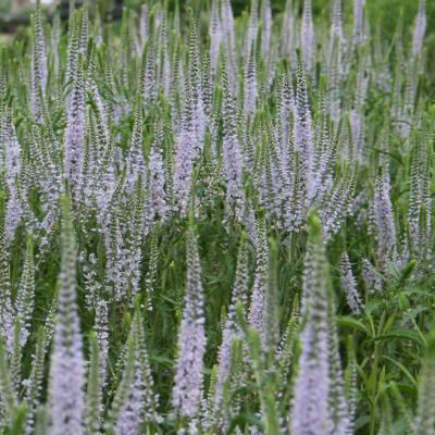 Lavender Towers Culver S Root Trees To Plant Perennial Plants