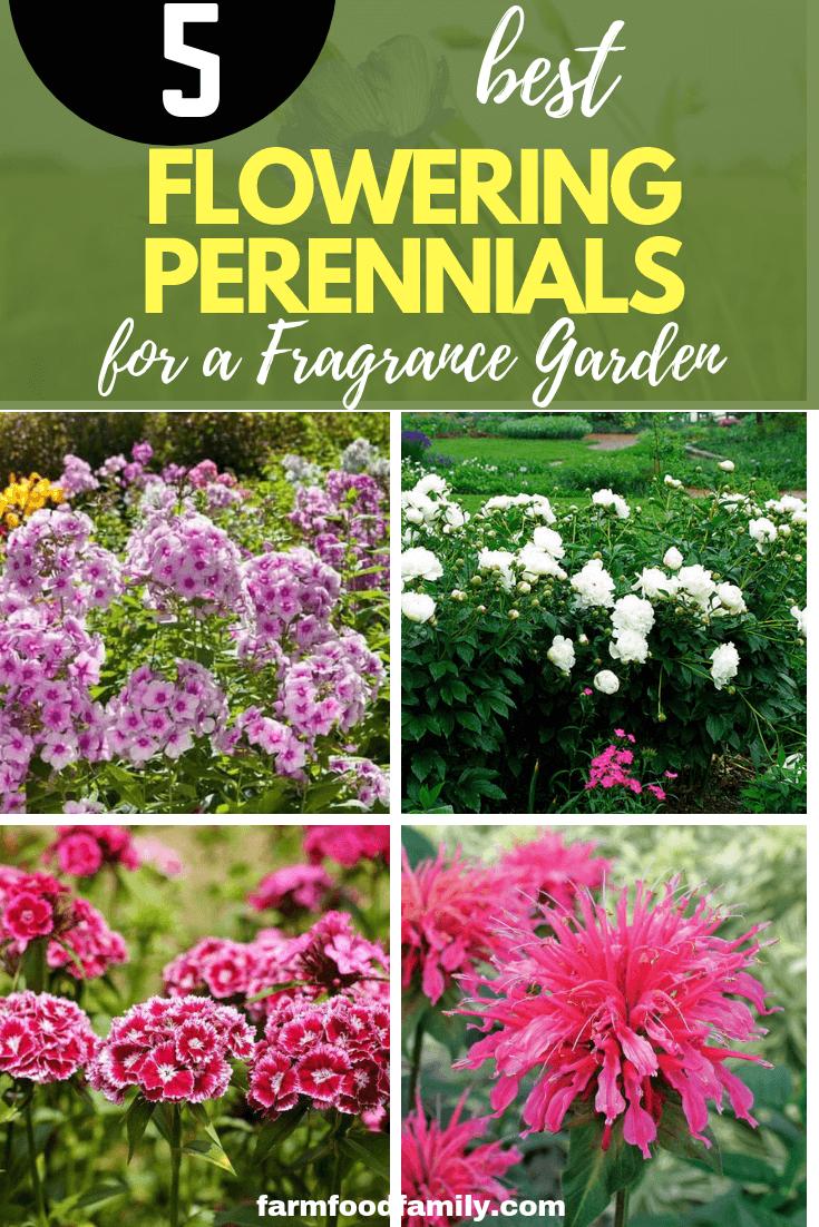 5 Best Flowering Perennials For A Fragrance Garden Farmfoodfamily