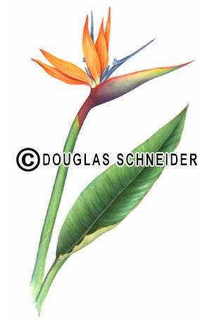 Bird Of Paradise Flower Patterns Bird Of Paradise Flower Painting By Douglas Schneide Birds Of Paradise Flower Birds Of Paradise Decorative Painting Projects
