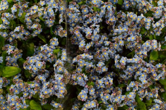 Blue forget-me-nots at New Covent Garden Flower Market - February 2016