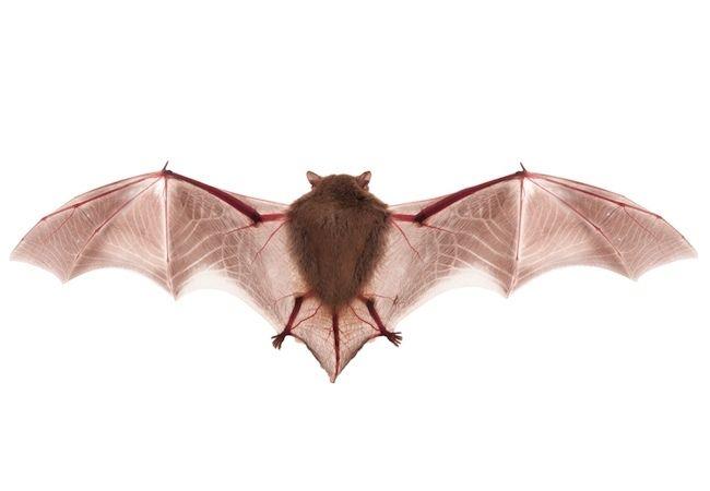 How To Get Rid Of Bats Getting Rid Of Bats Bob Vila Pest Control