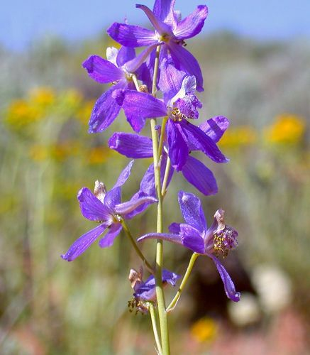 Desert Flower Names   Recent Photos The Commons Getty Collection Galleries World Map App ...