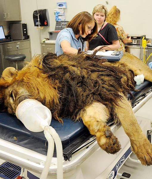 Tsavo the lion went in for his fourth, and hopefully last