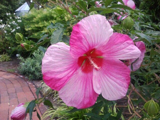 Hardy Hibiscus Plants Perennials Sun Zone 5 6 Hibiscus