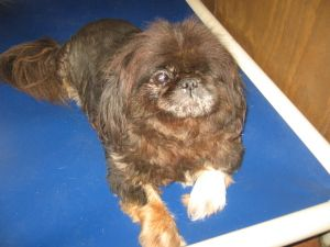 Hodie Is An Adoptable Pekingese Dog In Florence Sc This Is Hodie Yes He Only Has One Eye His Eye Was Pekingese Dogs Australian Cattle Dog Blue Heeler Dogs