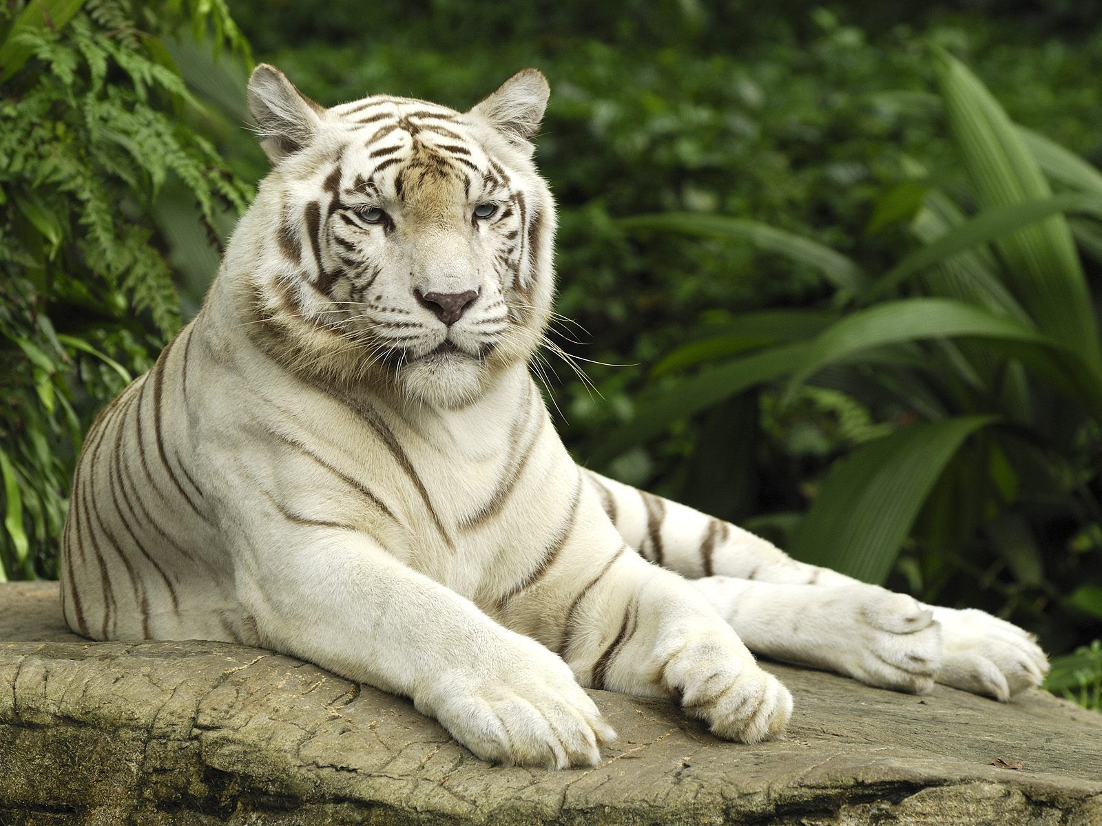 white tiger wallpapers hd | animals wallpapers | pinterest | tiger