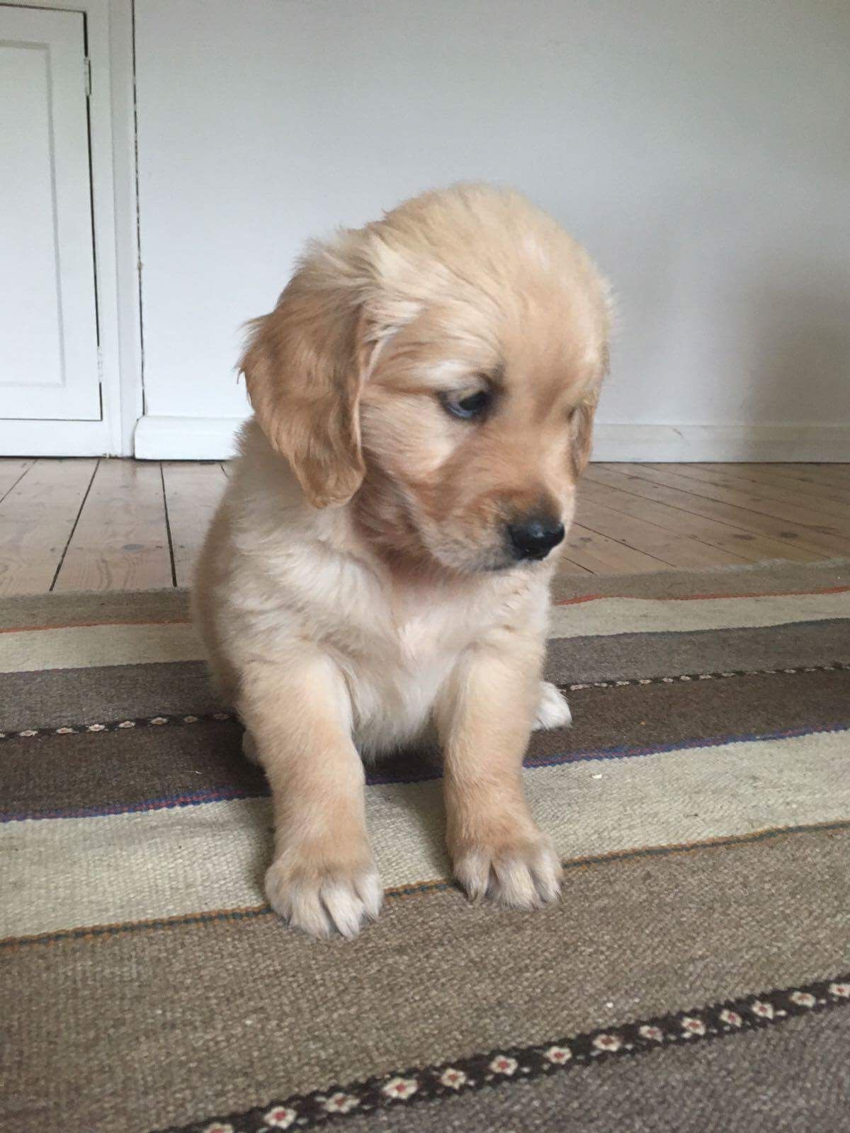 Buddy The Golden Retriever Puppy At 6 1 2 Weeks Golden Retriever Golden Retriever Puppy Puppies