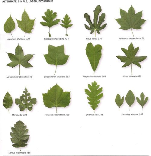 Michigan Tree Identification By Leaf Identify Trees Their Leaves Insidebookofleaves P35