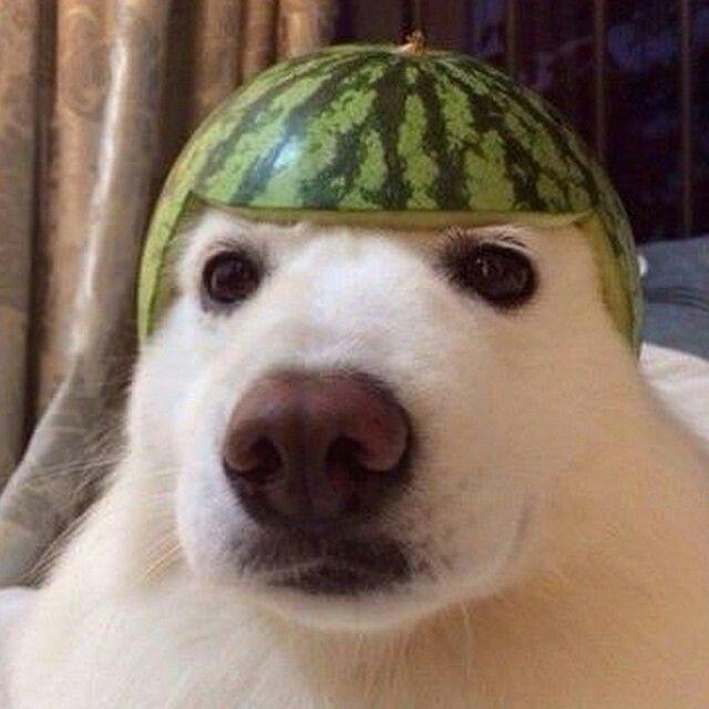 Melon Head Dog Lol Funny Animal Memes Animal Memes Cute Animals
