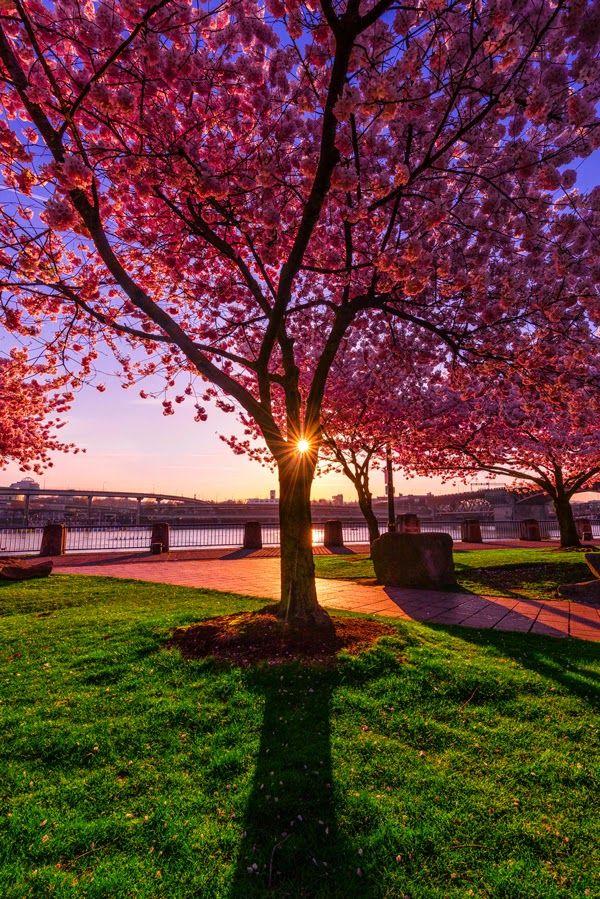 Cherry Blossoms In Governor Tom McCall Waterfront Park,Portland Oregon United States | Oregon - Complete | Cherry blossom, Sunrise, Beautiful sunrise