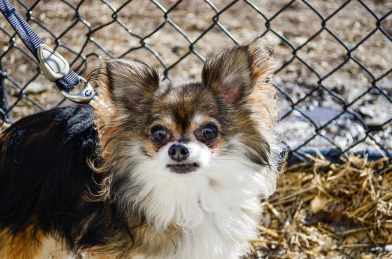 Meet Diesel a Petfinder adoptable Chihuahua Dog | Methuen, MA | Diesel is a 7-year-old, 6.5 lb long haired Chihuahua.  He would do best in a quiet household.  He...