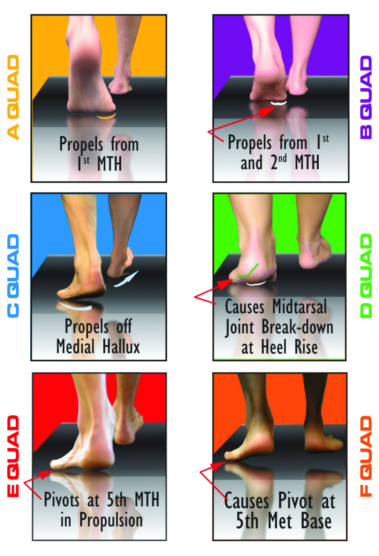 F Quad Foot Morphology The F Quad Is Commonly Referred To A