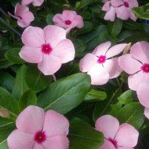 Chula o vinca 10 plantas m s f ciles de cuidar ideas - Plantas de exterior faciles de cuidar ...