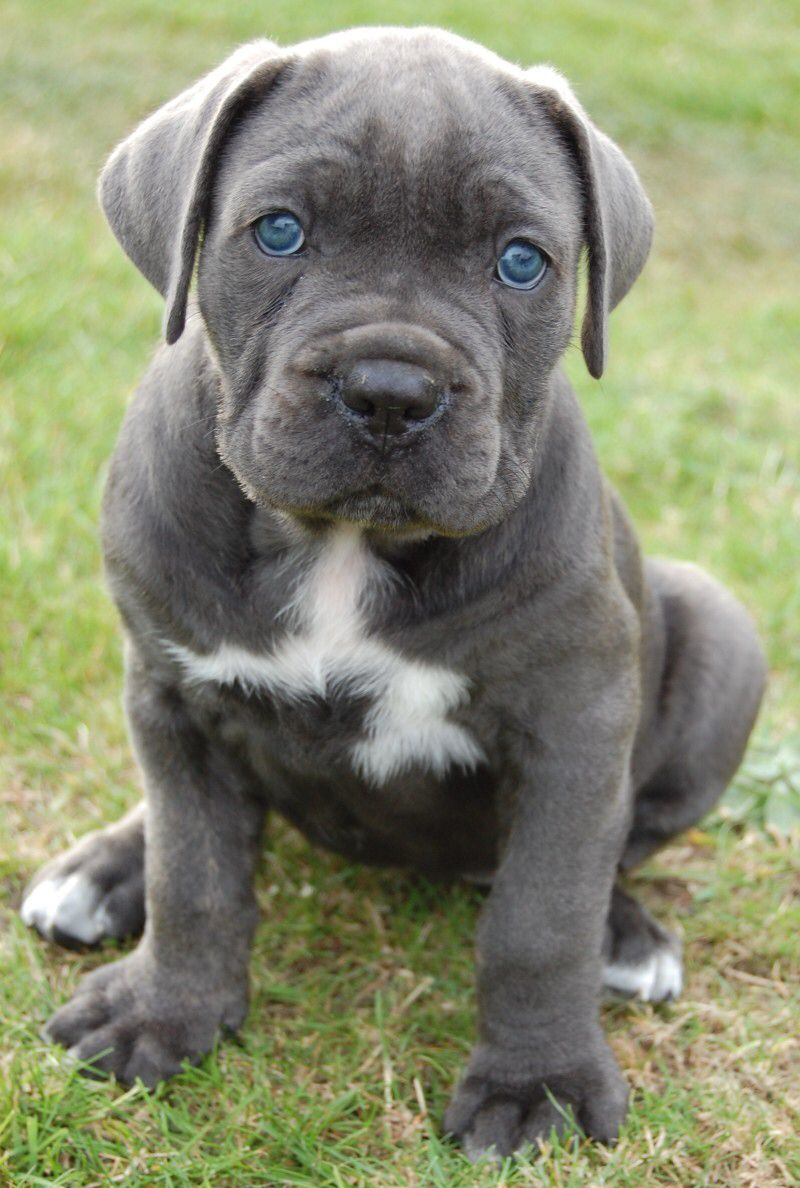 Cane Corso Puppy Look At Those Blue Eyes Cane Corso Puppies